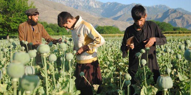 تولید مواد مخدر در افغانستان ۴۳ درصد افزایش یافت